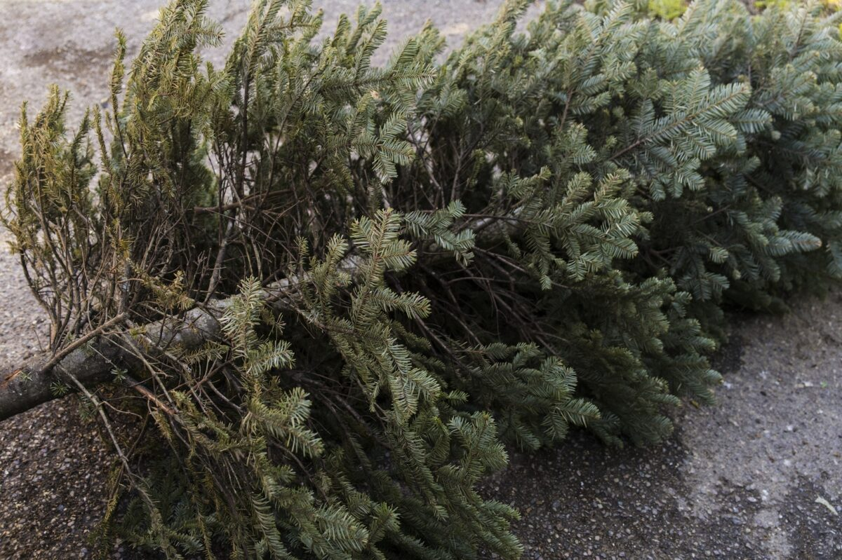 City Picking Up Xmas Trees First Two Weeks of January